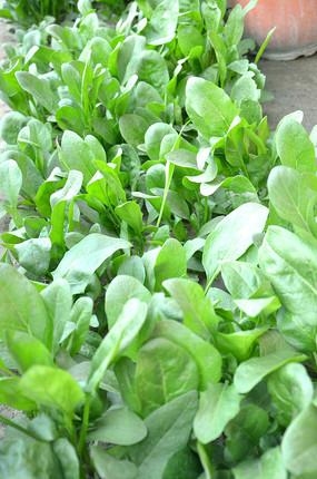 绿油油的菠菜