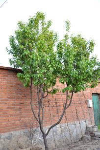 农家院门口的一棵小杏树