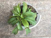 盆栽植物猪笼草