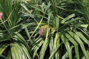 热带植物林投