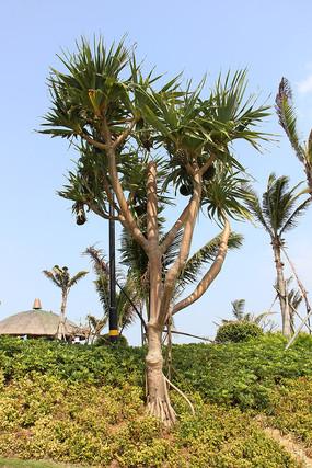 热带植物露兜树