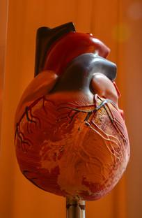 人类心脏模型