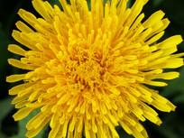 盛开的蒲公英花