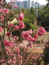 盛开的桃枝