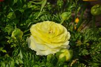 双色的牡丹花