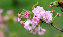 五丁桥的粉红色樱花