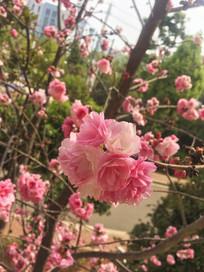 一簇盛开着的桃花