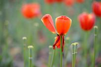 郁金香花瓣
