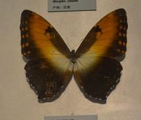 标本太阳闪蝶