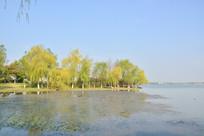 金山湖湖边杨柳