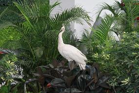 白孔雀标本