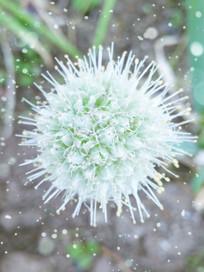 白色的葱花