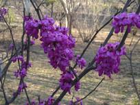 春天的紫荆花