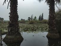 滇池湿地的棕榈树
