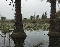 滇池湿地的棕榈树风光