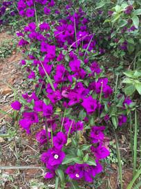 公园的紫色花束