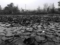 满池塘的睡莲
