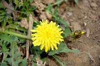 爬满小蚂蚁的蒲公英花