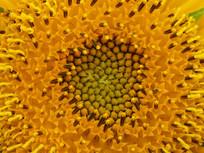 漂亮的向日葵花蕊
