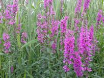 漂亮的紫色花朵