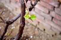 葡萄树发芽