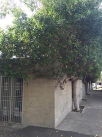 墙边的独特树木图片