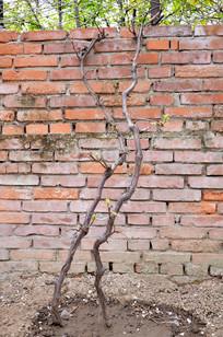 墙根下两棵刚发芽的葡萄树