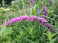 一串紫色的花