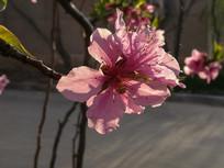 一朵逆光红色桃花