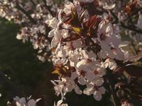 一颗盛开的紫叶李