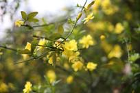 一枝迎春花