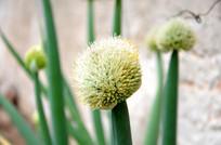圆圆的大葱花