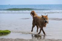 涠洲岛赶海的狗