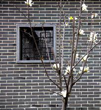 窗前的白玉兰