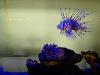蓑鲉 狮子鱼