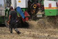 小麦丰收中的收割机收作业