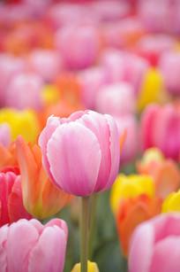 彩色郁金香花丛