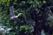飞向的鹭鸟