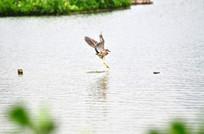 飞翔的小鹭鸟