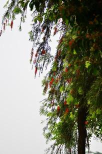 红色炮仗花树木