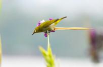 芦花枝头上的绣眼鸟