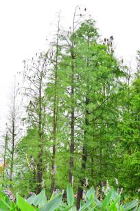 绿油油的水杉树木风景图片