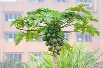 木瓜风景图片
