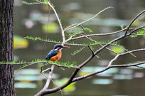 树枝上的小翠鸟