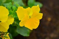 黄色小花花朵图片