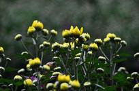 黄色小菊花花骨朵