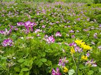 绿草丛小花