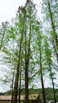 绿色的水杉树