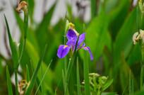 美丽的鸢尾花