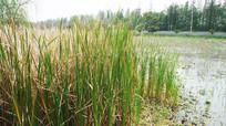湿地上的一片芦苇草
